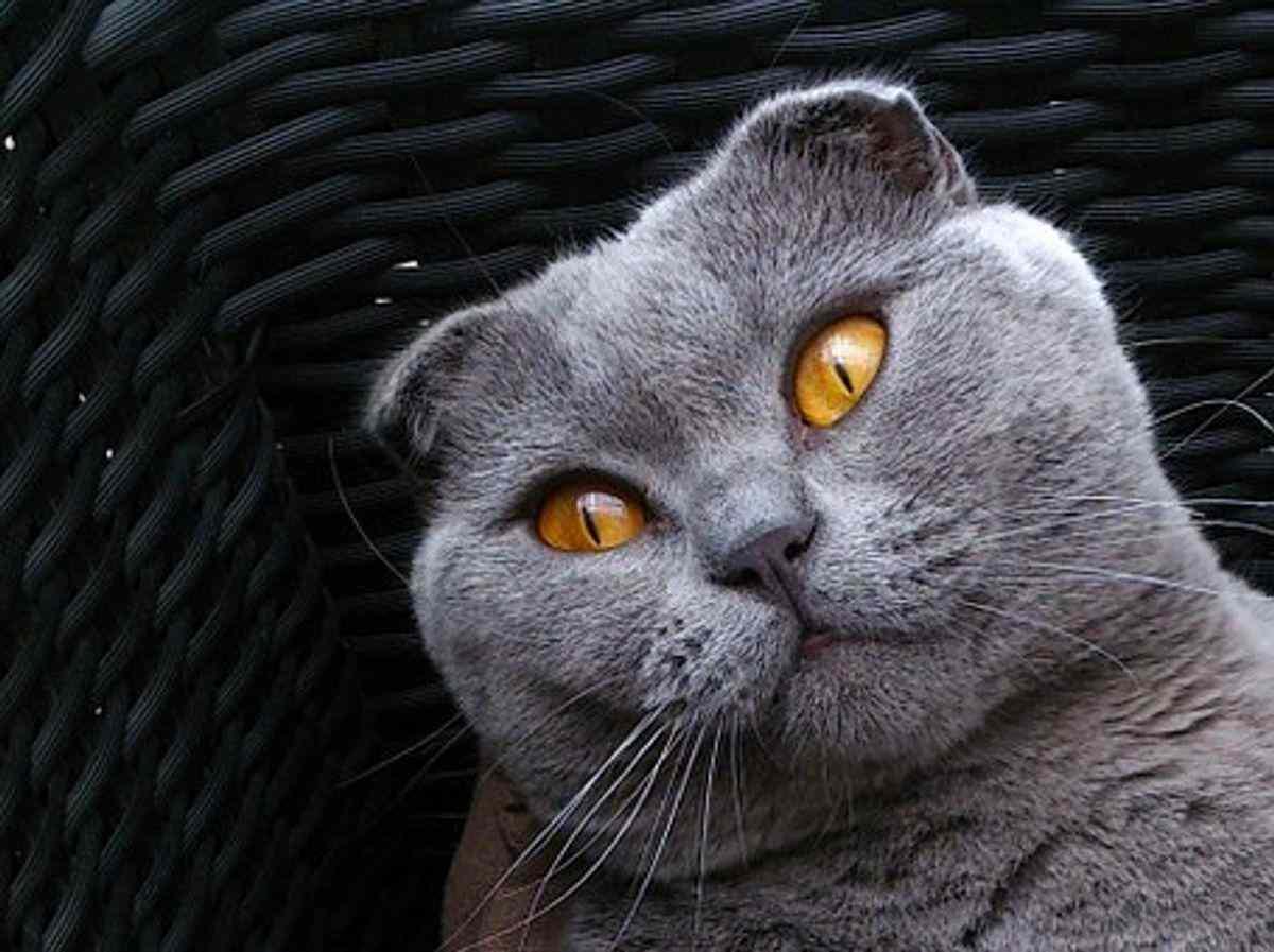 Scottish Fold Cat For Sale